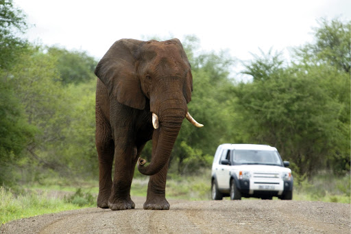 An elephant in the Kruger National Park.