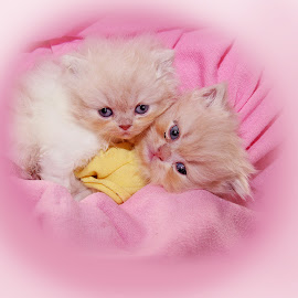 little persians by Lize Hill - Animals - Cats Kittens
