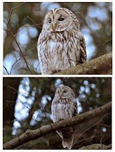 Photo: 撮影者:村山和夫 フクロウ タイトル:フクロウ現る 観察年月日:2015年1月18日15時10分頃 羽数:1羽 場所:八王子市内 区分:希少 メッシュ:保護の為、公表しません。問合せは御容赦下さい。 コメント:頭上でシロハラがカカ、カカと聞こえる異様な声で鳴いていた。見上げると大きく白っぽい鳥が飛んで行った。瞬間にフクロウかノスリと思い後を追うと見当たりません。諦めてカメラをバッグにしまい振り返ると枝に止まっていました。圧倒的な存在感がありました。1分ほどで飛び去りました。会員の方も観察したいと思いますが、これから繁殖期を迎えます。悪い影響が出るといけないので一切場所は伏せます。ご理解下さい。