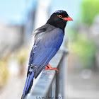 Red-Billed Blue Magpie (Juvenile)