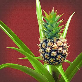 Baby Pineapple.jpg