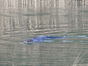 Photo: Otter in Swan Pond at Wasque 2010 - Photo by Kate Greer
