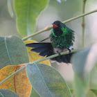 Cozumel Emerald Hummingbird