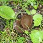 Brown Cup Fungus