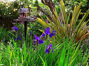 Photo: Siberian irises and New Zealand flax 'Sundowner'