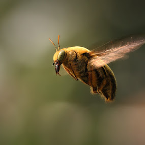 Stop Flying  by Angga Putra - Animals Insects & Spiders ( macro, bee, frezz )
