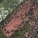 Christmas Lichen