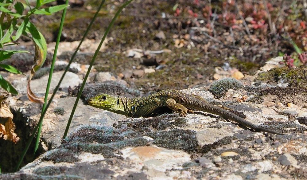 Lagarto ocelado (Ocellated lizard)