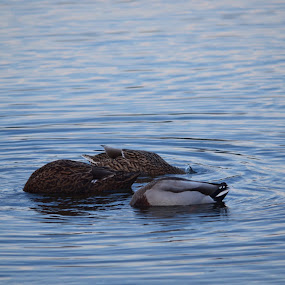 sometimes you just dont want to face the day by Tony Dominguez - Novices Only Wildlife ( water, bird, nature, duck, animal )