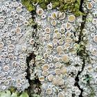 Double-rim saucer lichen