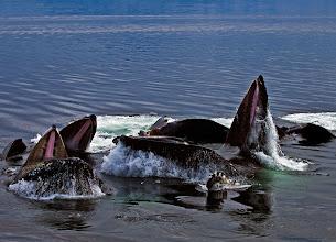 "Photo: ""Bubble-Net"" Group Feeding Humpback Whales"