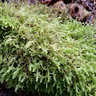 Hanging wing moss