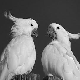 Just Friends! by Anthony Goldman - Black & White Animals ( sydney, watson`s bay, nature, bird, parrot, wild, cockatoo,  )