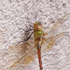 Painted Dragonfly