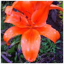 Photo: Orange lily #flower #lily #orange #garden #plant #intercer - via Instagram, http://instagr.am/p/MoVzjGJfgI/
