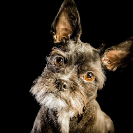 Curious by Patricia Konyha - Animals - Dogs Portraits ( studio, nahla, 2017, dog )