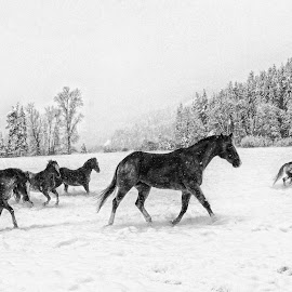 Frolicking in the Snow by Twin Wranglers Baker - Black & White Animals (  )