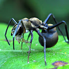 Giant Ant Mimicking Spider