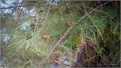 Photo: Cătina rosie (Tamarix ramosissima) - de pe Str. Salinelor - 2016.10.14
