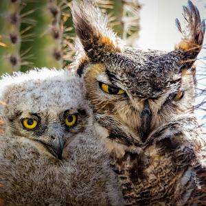Great Horned Owl-56.jpg