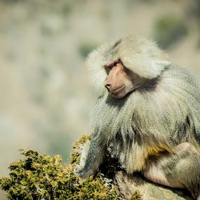 I love to  Sun Bath by Roel Gestiada - Animals Other Mammals ( baboon, mammal, monkey )