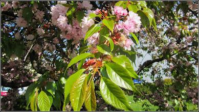 Photo: Cires japonez (Prunus Surrulata) - din Piata 1 Decembrie 1918, spatiu verde - 2017.04.15