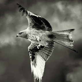 Red Kite by Stephen Crawford - Black & White Animals ( new galloway, birds of prey, nikon d4, feeding, telephoto, red kites, birds in flight,  )