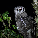 Eagle-Owls  -  Verreaux's Eagle-Owl