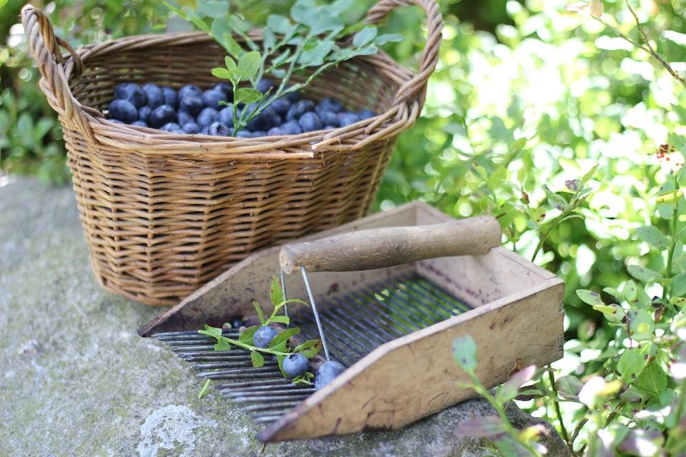 Korb mit Heidelbeeren und Erntewerkzeug