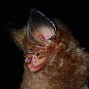 Dayak Leaf-nosed Bat