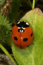 Photo: Coccinella septempunctata (Linnaeus, 1758) - The Seven-spotted Ladybird Beetle, DHG Native to Europe