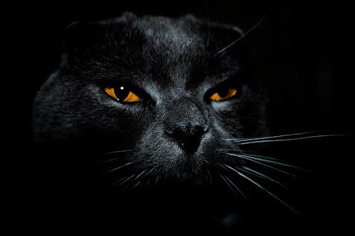 cat by Edu Marques - Animals - Cats Portraits ( cat face, kitten, cat, katzen, catsagram, manja, scottish, meong, scottishfold, photooftheday, gato, cats, cat eyes, pet, pets, kitty,  )
