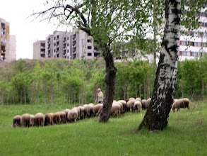 Photo: notice the contrast of the sheep and communist-style apt. blocs