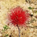Cerrado flower