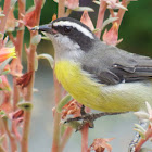 Cambacica or Bananaquit