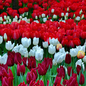 Colourful Tulips by Aung Kyaw Soe - Flowers Flower Gardens (  )