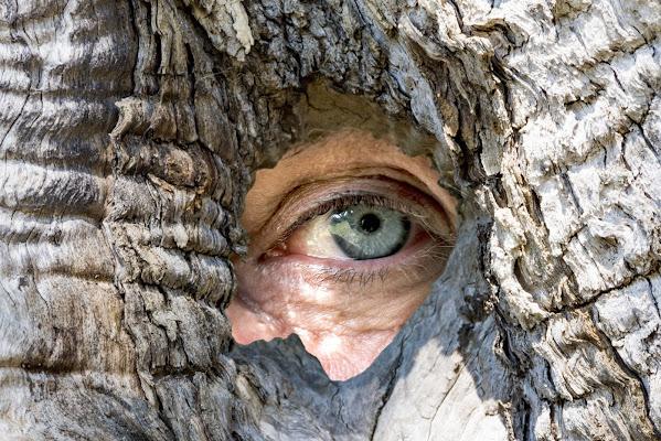 osservare attraverso un vecchio maestoso olivo