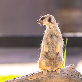 The Lookout by Gary Pore - Animals Other Mammals ( lookout, guard, meerkat )