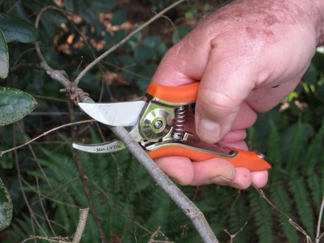Сломанные или больные побеги войлочной вишни можно и нужно обрезать даже летом