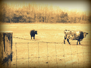 Photo: Sepia photo of two cows pastured at Carriage Hill Metropark in Dayton, Ohio.