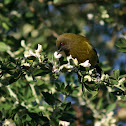 NZ Bellbird
