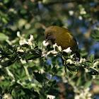 NZ Bellbird