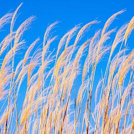 Golden Feathers by Jennifer  Loper  - Nature Up Close Leaves & Grasses ( blue sky, golden, waving, winter, amber, breeze, oklahoma )