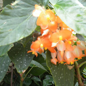 Orange! Angel Wing Begonia by Leah Bittner - Flowers Flower Gardens