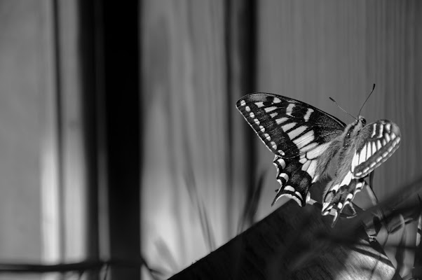 Butterfly di Melo
