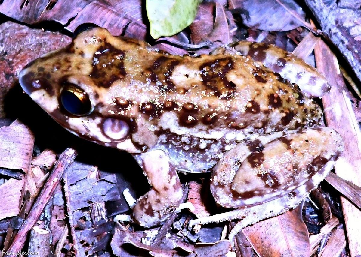 Leptodactylus troglodytes