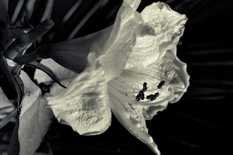 Photo: Mom's lily, another one