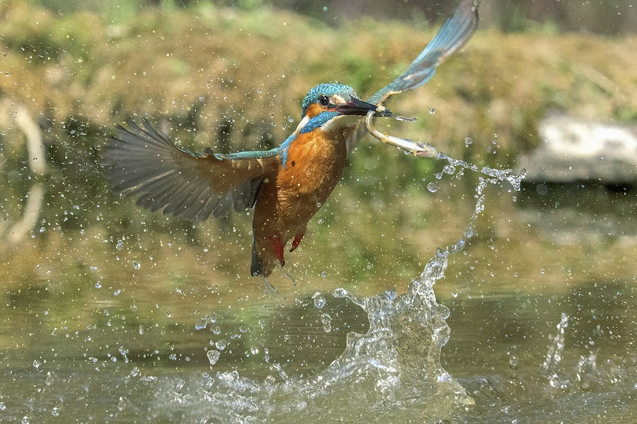 Kingfisher by Albergamo Paolo - Animals Birds ( oasi paolo albergamo, martin  pescatore, birds, animal )
