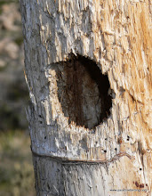 Photo: Ladder-backed Woodpecker cavity in a yucca stalk, close-up; Culp Valley