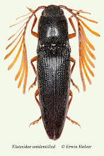 Photo: unidentified (5), 16,7 mm, Costa Rica, Esquinas Rainforest (08°42´/-83°12´), leg. Erwin Holzer